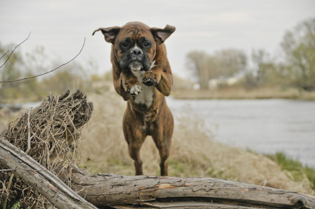 Pound for pound, the boxer is one of the strongest dogs, which can make them dangerous.