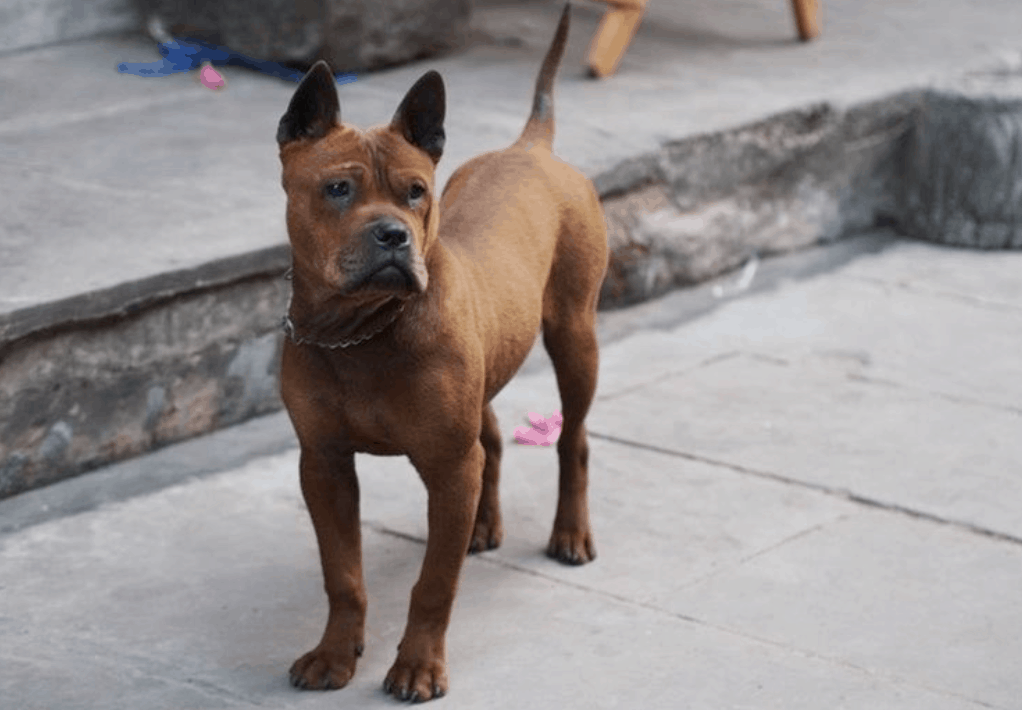 Chongqing dogs are highly devoted and known for their extreme loyalty to the owner.