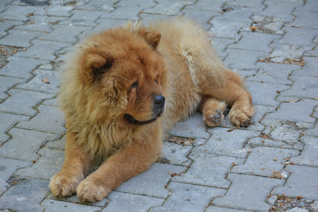A Chow Chow is naturally aggressive, making them dangerous dog breeds.