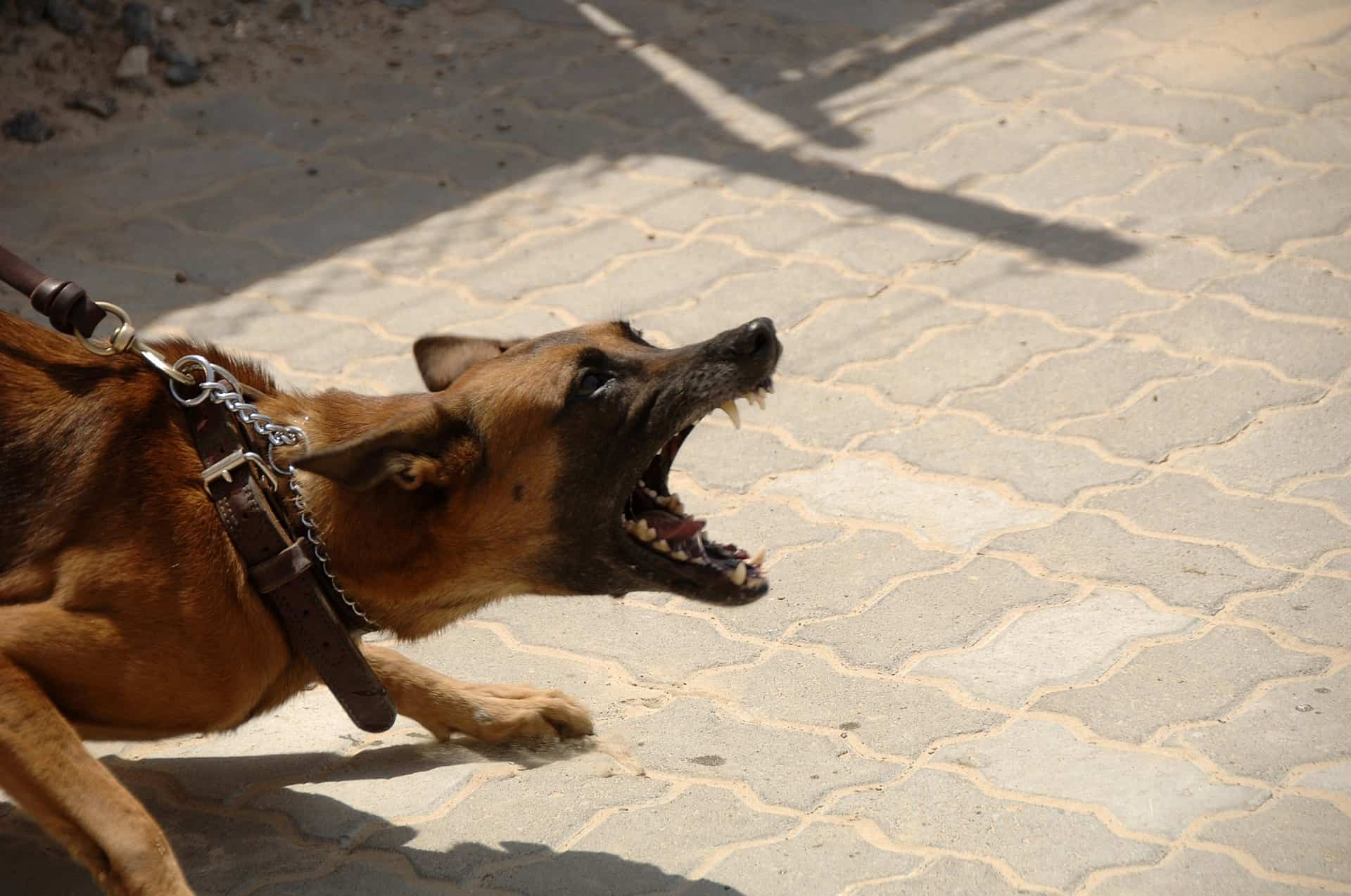 Based on statistics of dog attacks, the Pitbull is considered to be the most dangerous dog breed in the world.