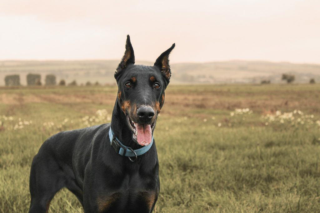 A Doberman Pinscher isn't aggressive by nature, but their gigantic size and strength makes them potentially dangerous dogs.
