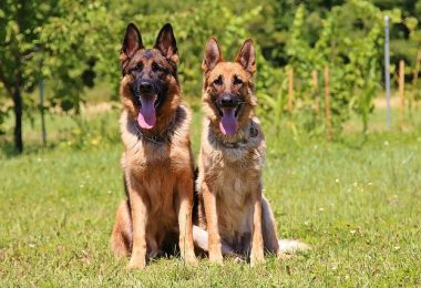 When it comes to German dogs, there are more dog breeds than just the German Shepherd.
