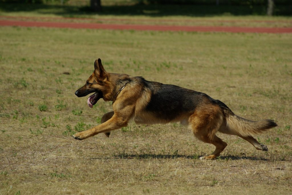 With so much strength and size, the German Shepherd is one of the most deadly and dangerous dog breeds.
