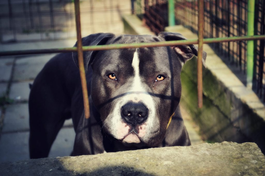The Pit Bull is the most dangerous dog in the world.