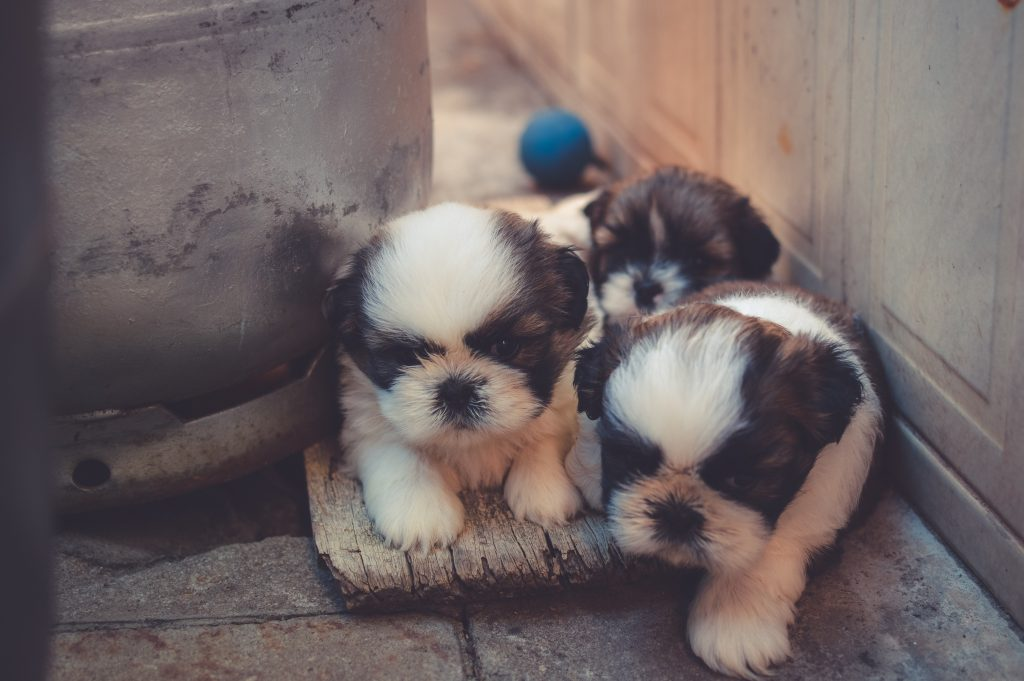 Puppies that eat poop is completely natural and they tend to grow out of it.
