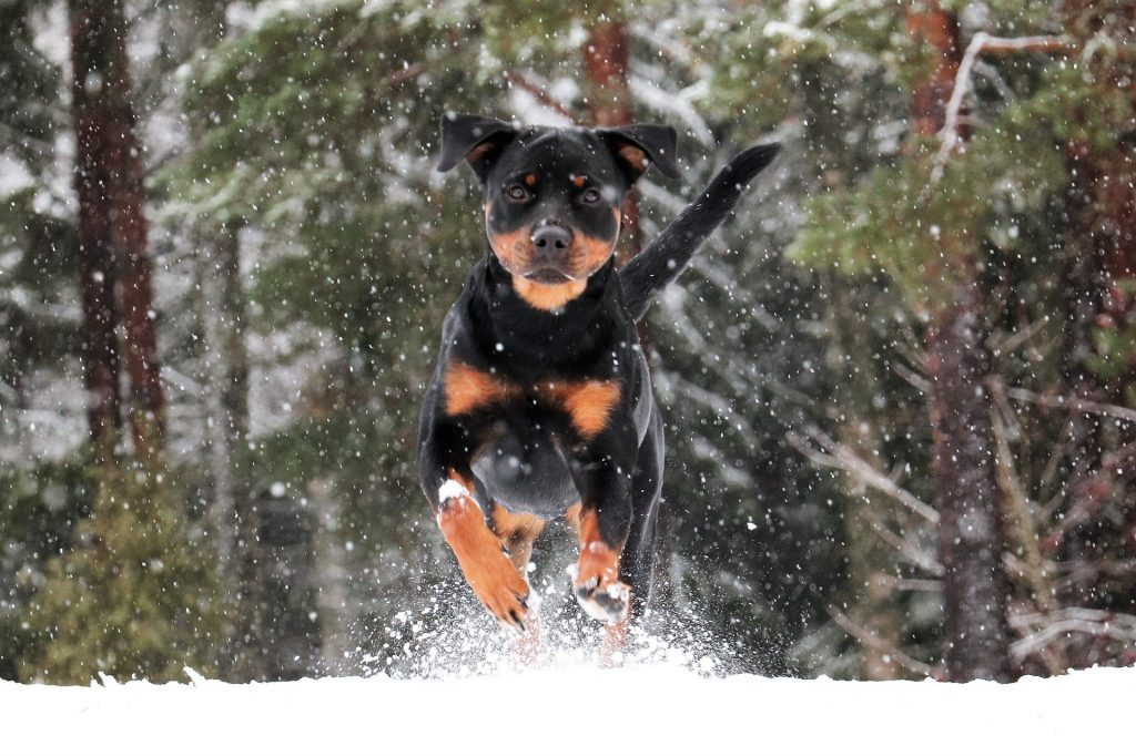 The Rottweiler ranks second among all dog breeds for most dangerous dogs.