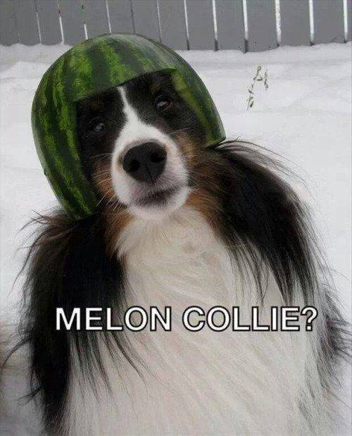 A border collie dog wears a melon helmet.