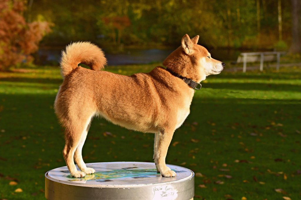 Shiba Inus are the most popular dog breeds of japan.