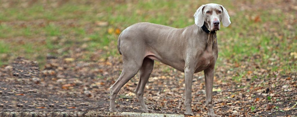 31 Stunning German Dog Breeds (DOGS FROM GERMANY)