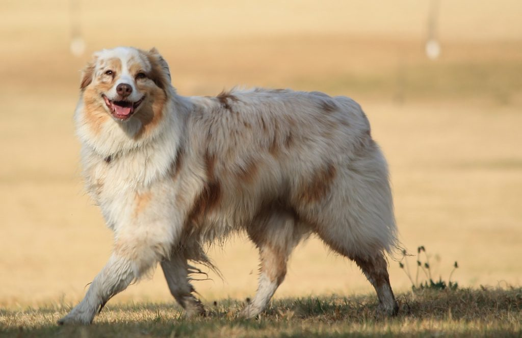 Although the Aussie is a healthy dog breed, they are still prone to various canine medical conditions.