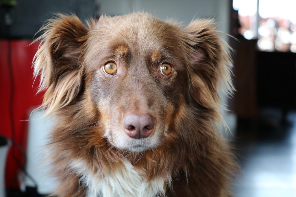 The physical characteristic combinations of the Aussie is a lot. They come in all types of coats with different colored eyes.