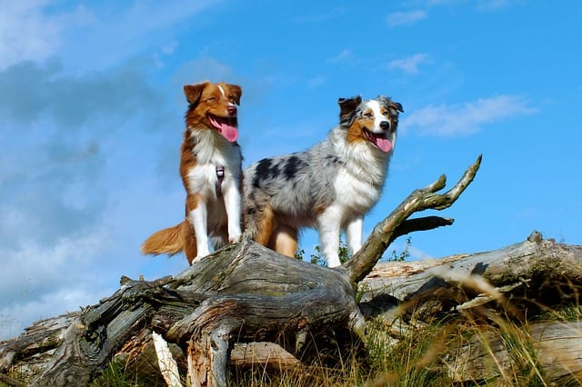 Australian Shepherds come in four official colors with different variations in each color group.