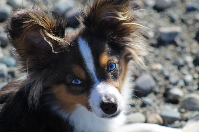 Australian Shepherds cost $650 to $850, but why do they cost so much?