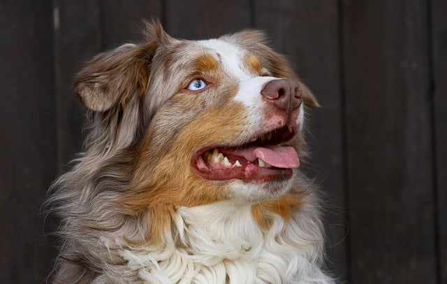 The Australian Shepherd is one of the best herding dogs in the world.