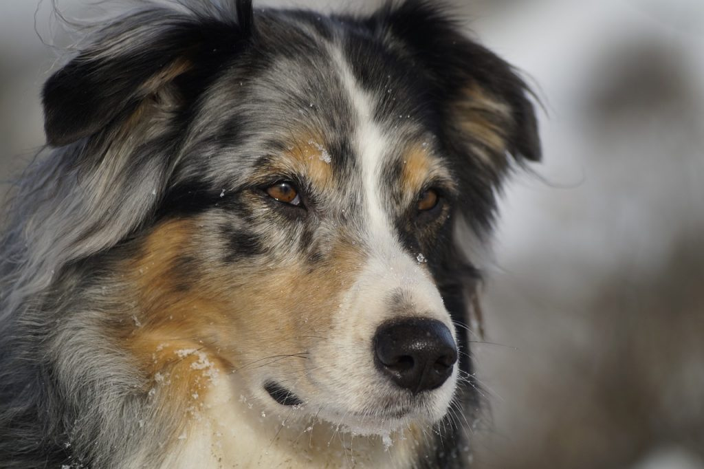 Despite popular belief, the Australian Shepherd originated from America and not Australia.