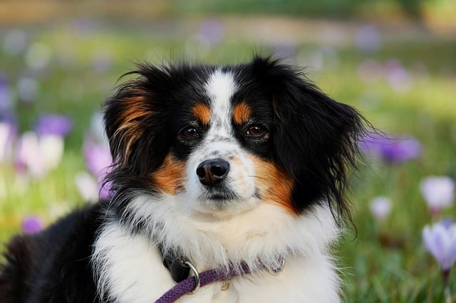 How much do Australian Shepherds shed?