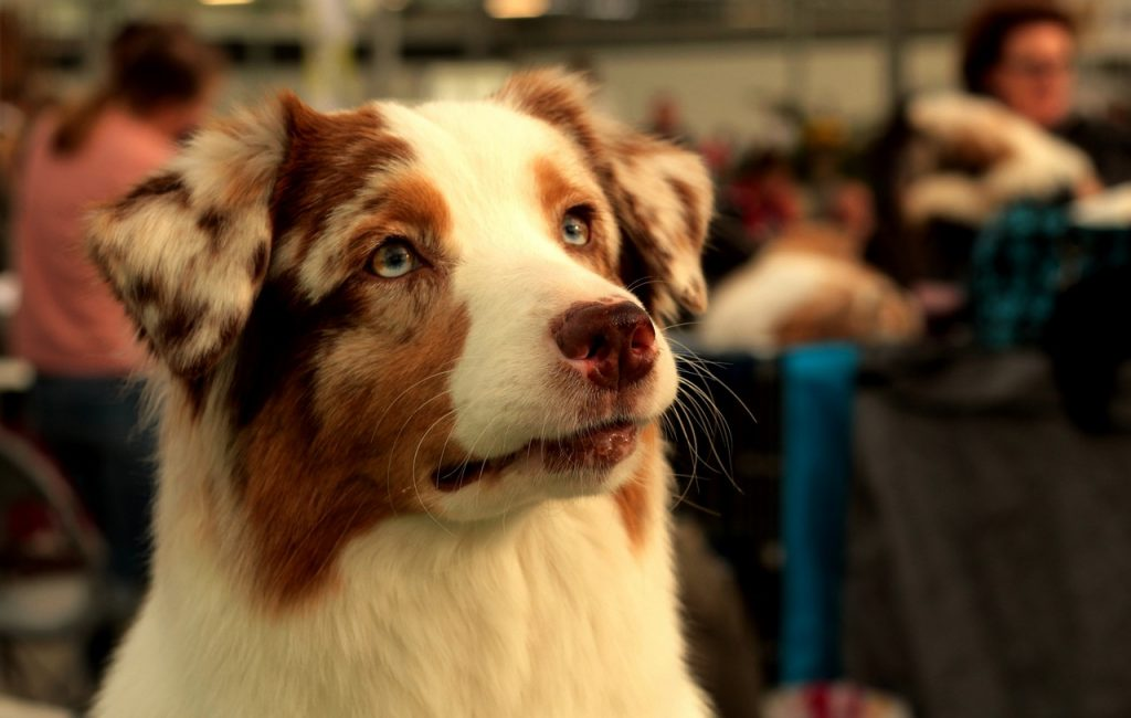 The Aussies are known for good temperament. They're great with family, kids and other animals.