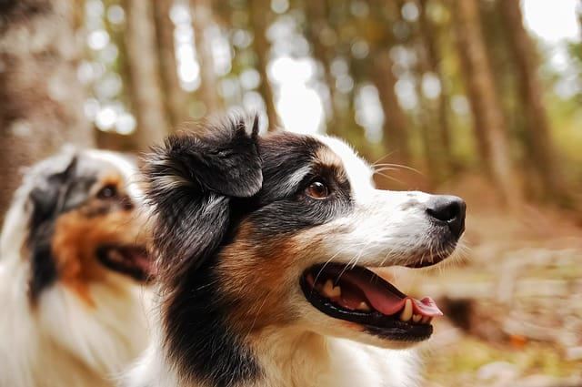 According to dog owners, Australian Shepherds have some of the best temperament and personality in the world.