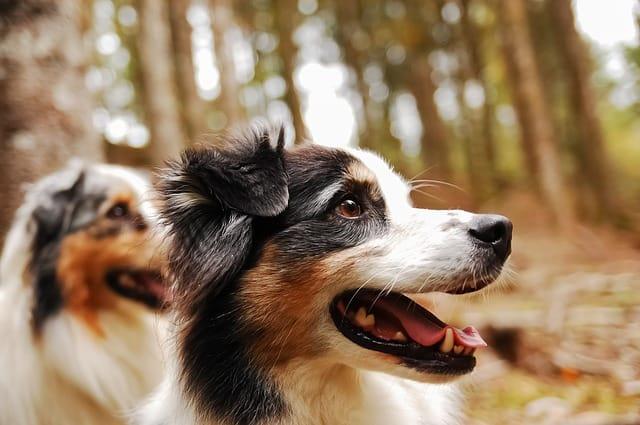 australian shepherd temperament  the aussie personality guide