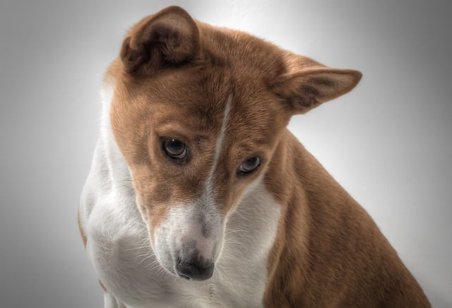 A Basenji is considered a dumb dog breed, but they're actually just disinterested in training.