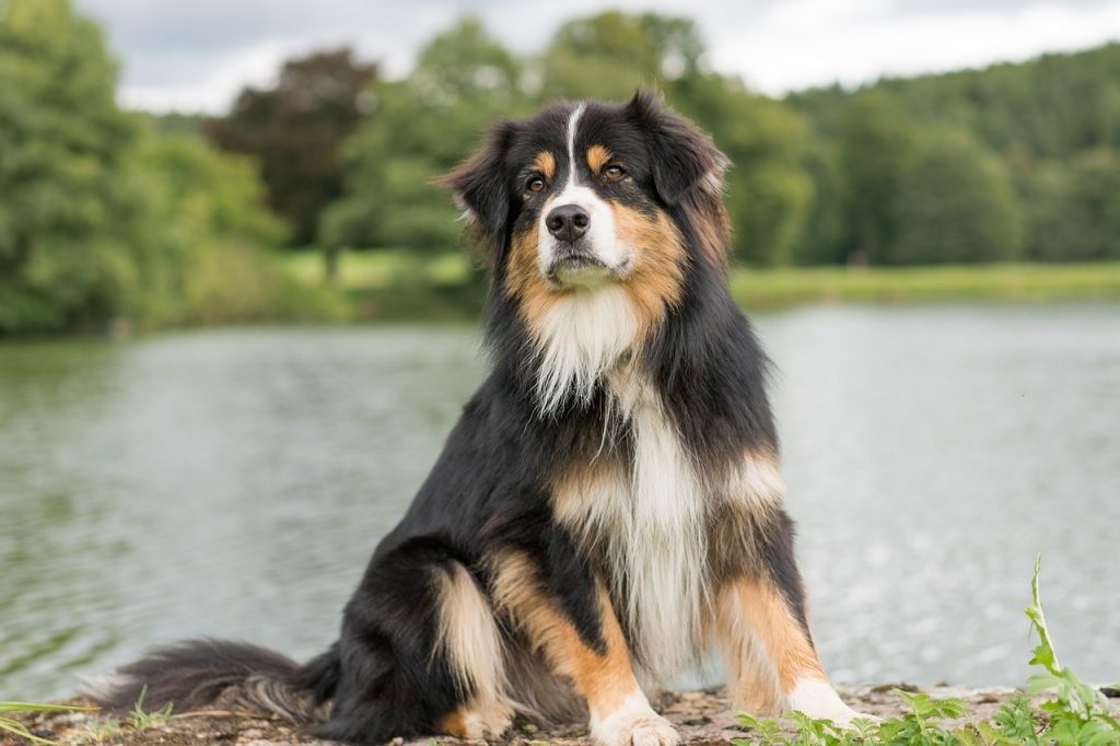14 Beautiful Australian Shepherd Colors With Pictures