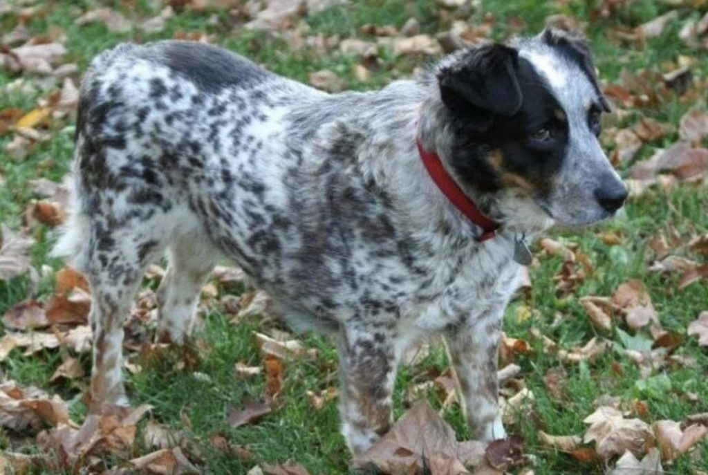 Combining the best herding dog from Australia and USA gives you the Texas Heeler.