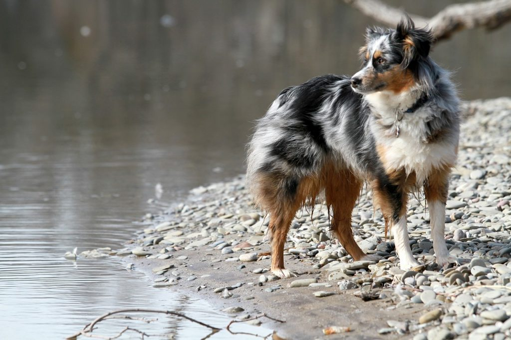 The Blue merle tri color Aussie is the most breathtaking color variation of this dog breed.