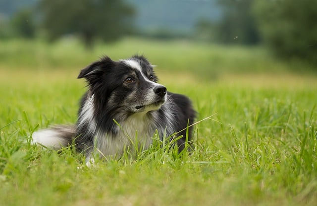 Both Border Collies and Aussies are highly intelligent dogs.