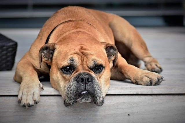 The Bulldog is considered to be the dumbest dog breed in the world.