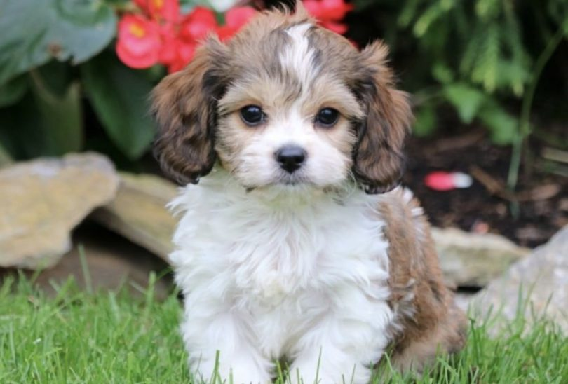 The Cavachon dog is a Cavalier King Charles Spaniel and Bichon Frise mix.