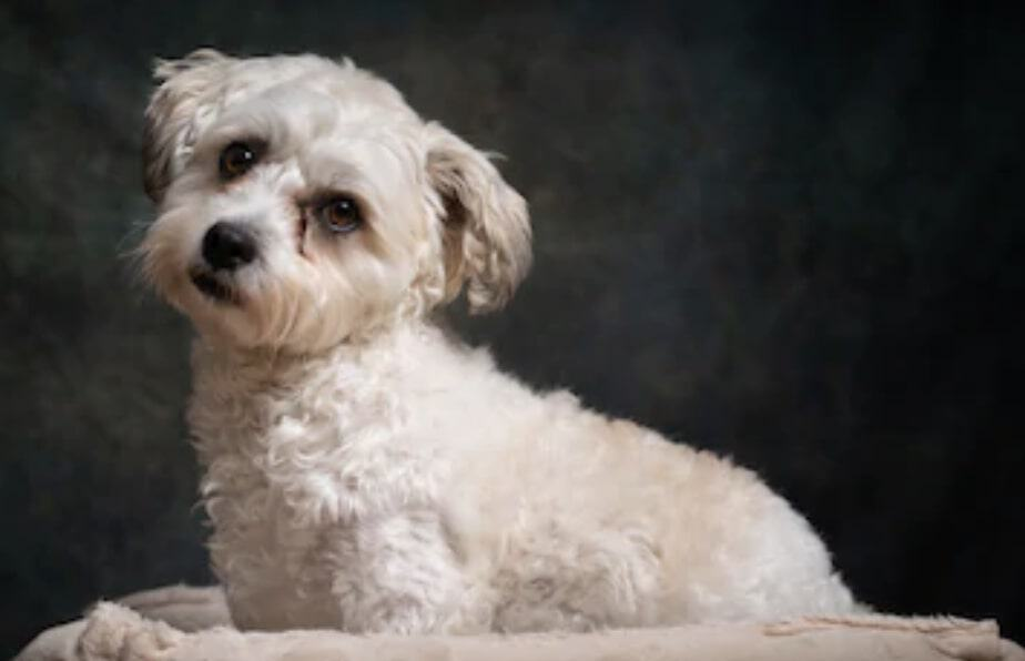 Cavachons have some of the best temperaments in the world - friendly and playful dogs.