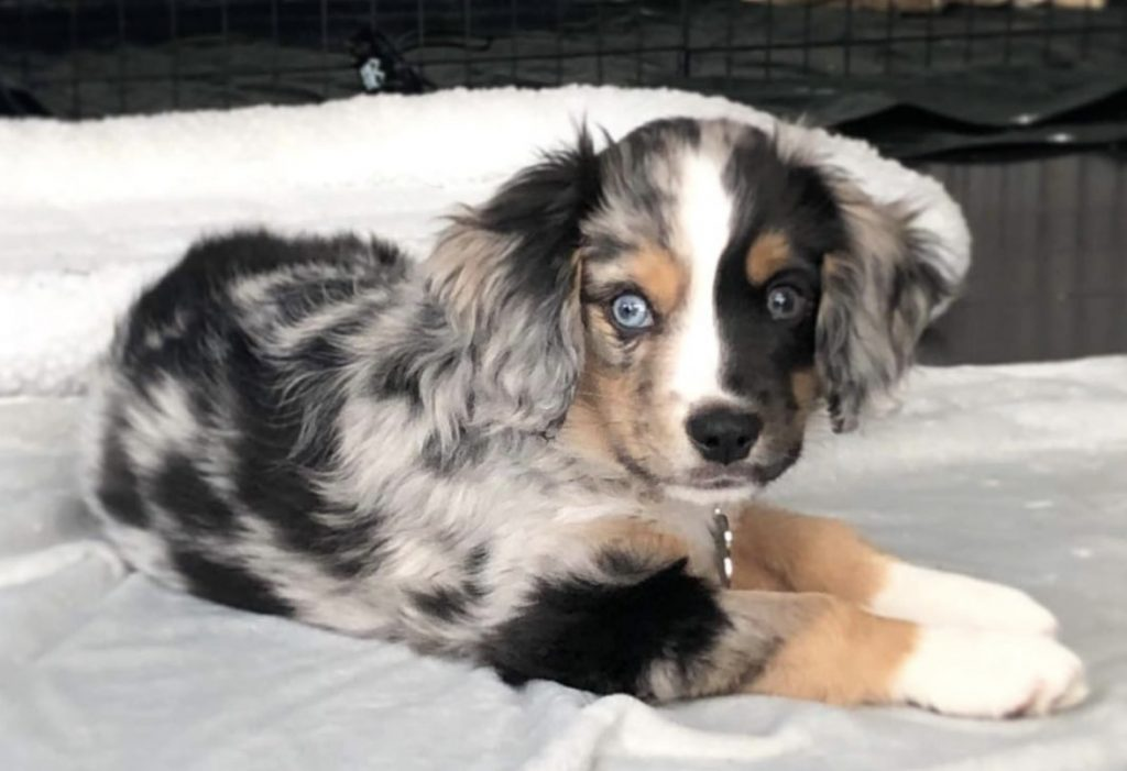 The Aussalier is an Australian Shepherd mix that has been gaining momentum in recent years.