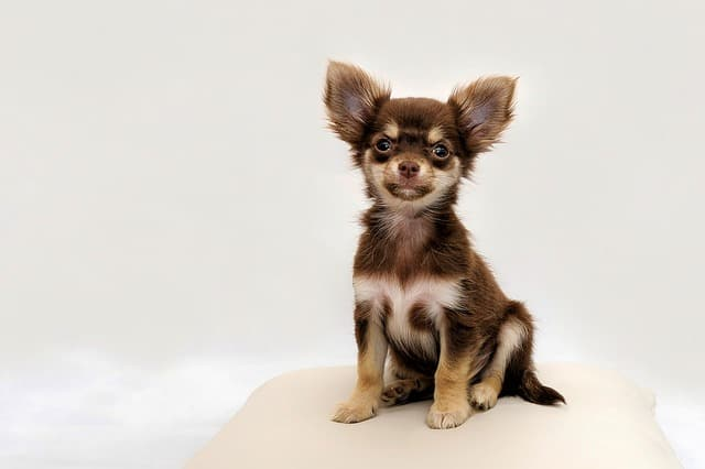 Chihuahua dogs are often thought to be dumb because they love to bark and pick fights with bigger dogs.