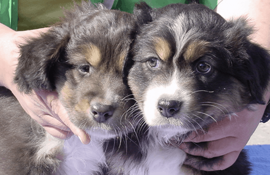 Comparison between dilute and non-dilute colored Australian Shepherd.