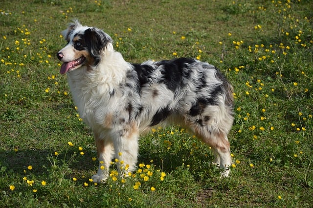 Some Australian Shepherds have tails while others don't.