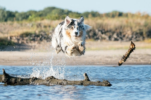 Do Aussies like playing in water?