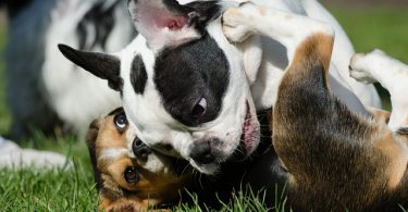 There are approximately 57 French dog breeds in the world.