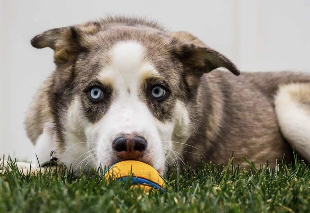 The Husky Australian Shepherd mix will give you one of the hardest working dogs.