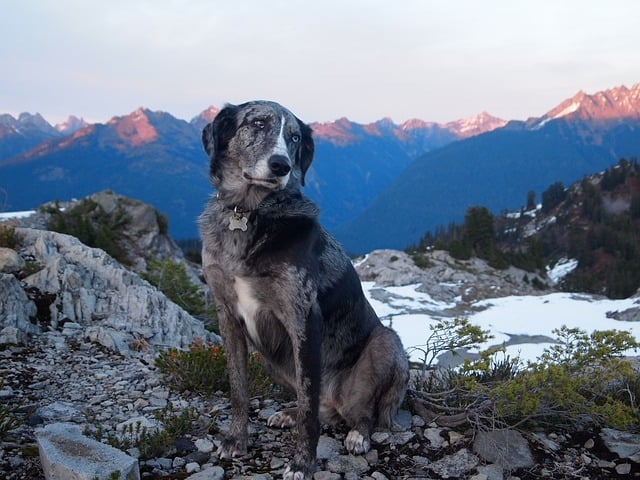 The Labrador Aussie mix is one of the most stunning mutt dogs.