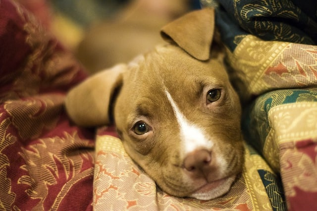 The Pit Bull is the second parent of the mysterious Pitsky dog.