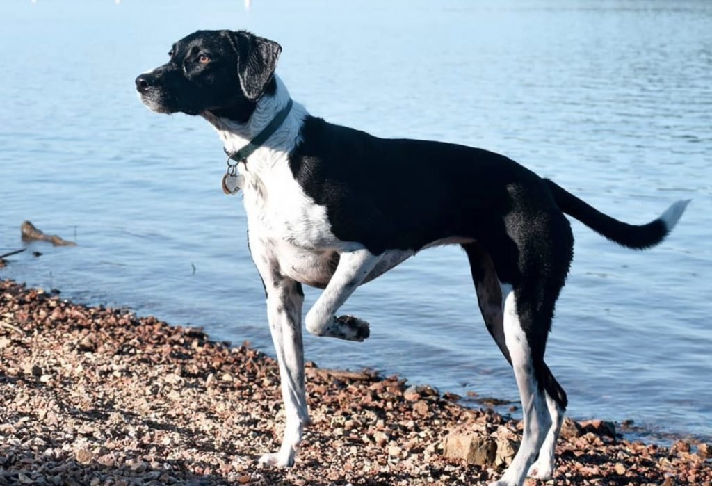 The rarest hybrid on this list is the Pointer Australian Shepherd mix.