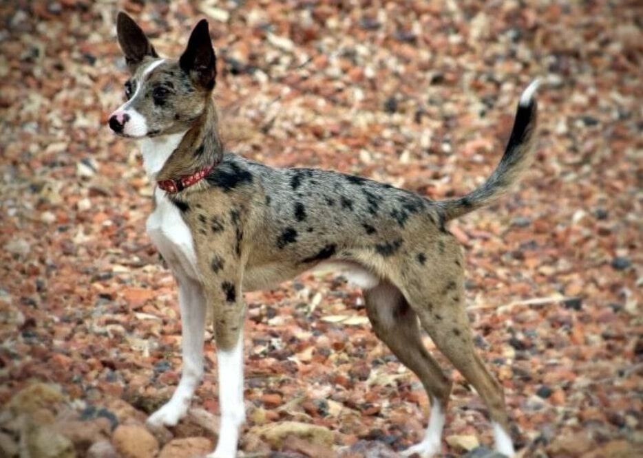 The Rat Terrier Australian Shepherd mix is by far the rarest mix i've ever encountered.