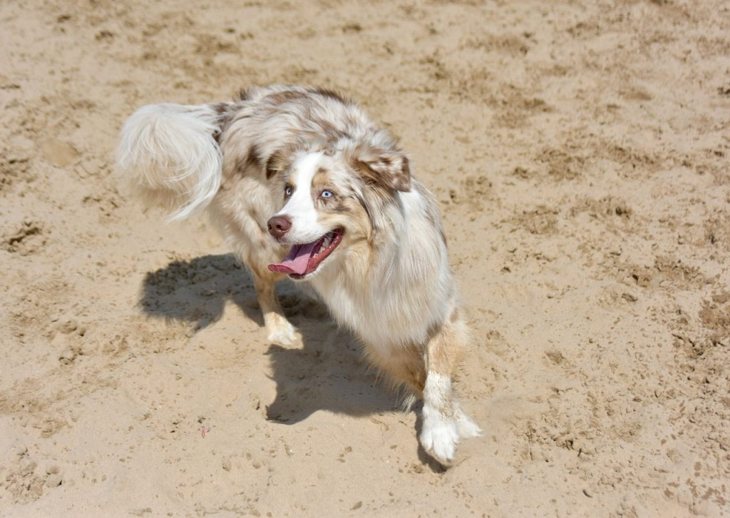 A solid red merle Australian Shepherd has red patches over a silver or buff coat.