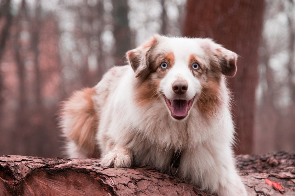 Red merle tri colored Australian Shepherds have red merle, copper and white.