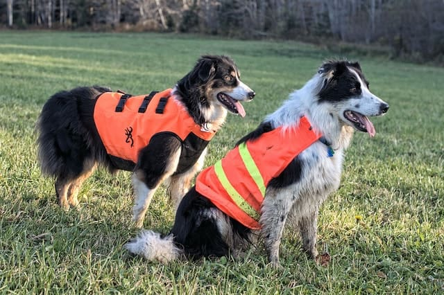 An Australian Shepherd and Border Collie are more alike than you think.