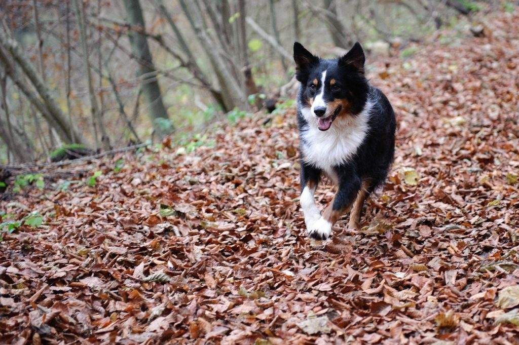 Aussies are loyal, friendly and serious workers - some of the best temperament traits in dogs.