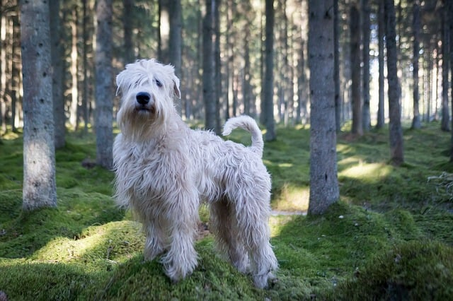 The Soft-coated Wheaten Terrier tops the list as the smartest dog breed among average intelligence dogs.