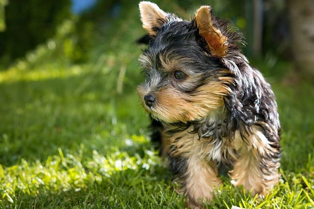 The Yorkshire Terrier is a smart dog breed with above average intelligence.