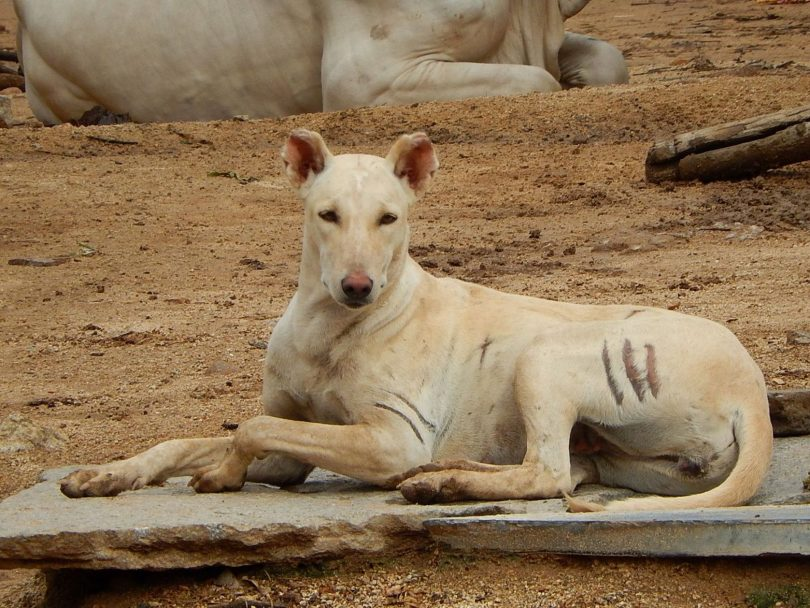 The Pandikona is hunting dog breed originating from India.
