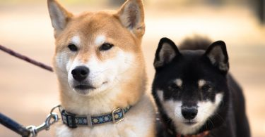 Japan has 12 amazing dog breeds. Here is every Japanese dog breed in existence.